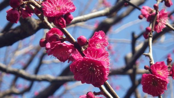 三の丸尚蔵館の梅
