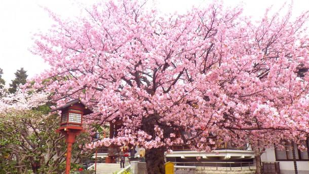 一重桜と八重桜が咲く不思議な桜