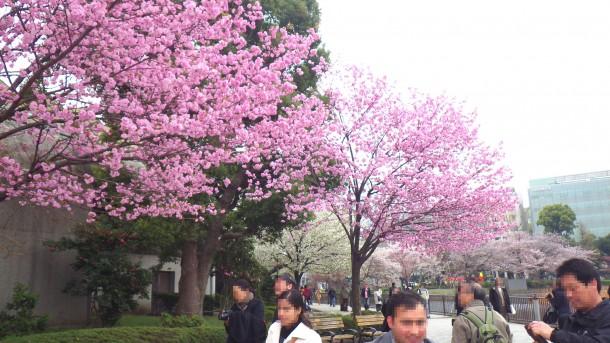 不忍池のまわりの桜